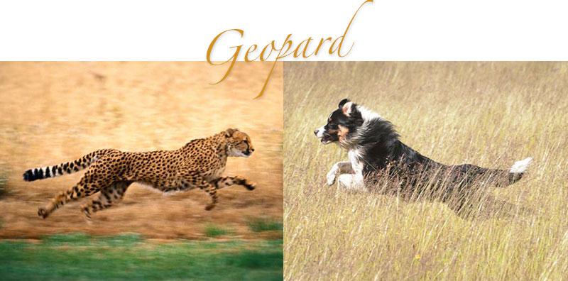 geopard1